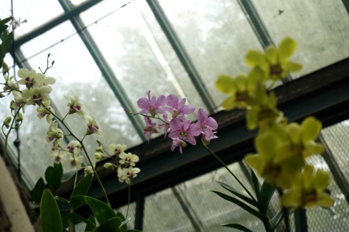 hybrid orchid at Kebun Raya Bogor