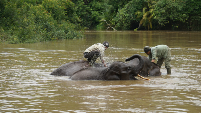 elephants take bath at Nilo river