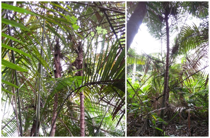 Langkap trees in Ujung Kulon - Discover Your Indonesia